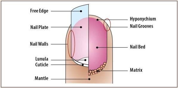nail-anatomy1